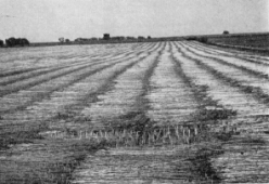 hennep-oogst-1947b