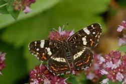 vlinder 11