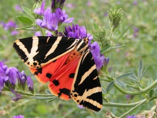 vlinder 12